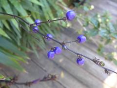 Dianella atraxis, berries (tanetahi) Tags: dianella tropical blue berries native australian brisbane garden dianellaatraxis asphodelaceae northernflaxlily arfp qrfp cyrfp lowlandarf uplandarf tropicalarf arffs bluearffs tanetahi