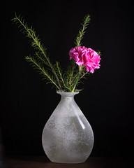 Survivor (Explored) (lclower19) Tags: carnation pink vase glass white sb600 green color odc explored
