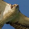 IMG_2225A Osprey (cmsheehyjr) Tags: cmsheehy colemansheehy bird osprey hawk fishhawk pandionhaliaetus rappahannock virginia