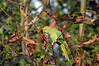 Ring Necked Parakeet (212) (John Carson Essex UK) Tags: thegalaxy thegalaxystars rainbowofnature supersix borntofly
