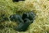 Chilling gorilla (Carandoom) Tags: 2017 suisse switzerland zoo animal animaux gorille singe ape gorilla foin paille relax lay down allongé repos