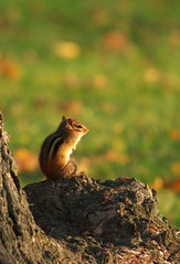 morning sunlight (S. J. Coates Images) Tags: chipmunk rodent sunrise lake ontario park autumn fall