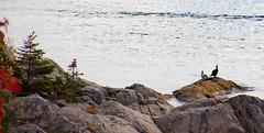 Nous aussi on observe / As you, we observe too! (deVégas) Tags: rocs rocks rochers eau water rivière river stlaurent fleuve automne autumn fall oiseaux birds rivage shore québec canada