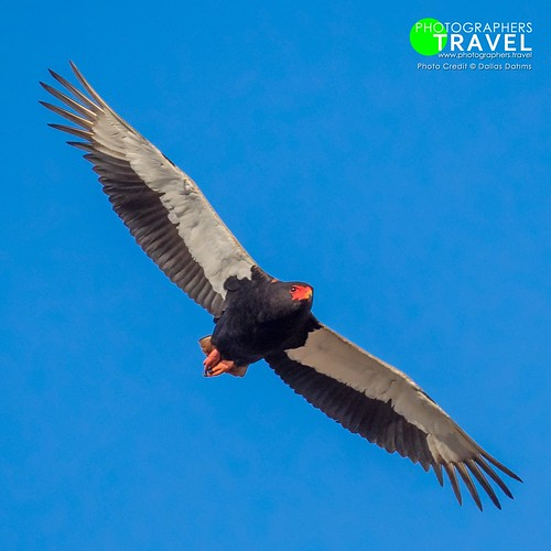 Bateleur eagle - Sabi Sabi 2017