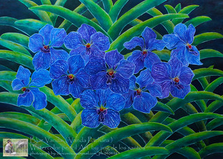 watercolor-pencil painting / chocovoices Blue Vanda