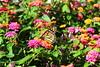 Monarch on a flower (pegase1972) Tags: us usa dc washington flower monarch butterflies butterfly licensed shutter papillon fleur nature dreamstime rf123 123rf