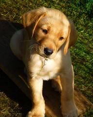 Bye Bye Oscar..x (Lisa@Lethen) Tags: puppies puppy labrador pet