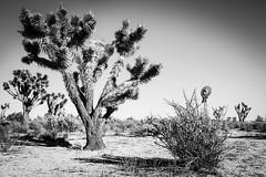 Aiken Mine Road, Mojave National Preserve, California (paccode) Tags: solemn mojave landscape desert bushes dirtroad blackwhite quiet fall california abandoned monochrome cactus flowersplants sky creepy scary nationalforest forgotten field unitedstates us