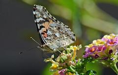 Painted Lady on Lantana (maccandace) Tags: butterfly paintedlady lantana