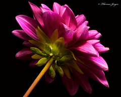 The Backstory 0920 Copyrighted (Tjerger) Tags: nature back beautiful beauty black blackbackground bloom blooming closeup flora floral flower green macro pink plant portrait single summer white wisconsin dahlia backside backstory natural