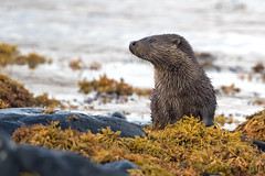 Is someone coming? (coopsphotomad) Tags: otter mammal mustalid wildlife nature outdoors sea seaweed shore loch scotland british canon