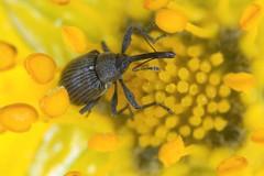 Anthonomus rubi (chug14) Tags: animalia arthropoda hexapoda insecta coleoptera curculionidae curculioninae anthonomini curculioater curculiorubi anthonomus anthonomusrubi