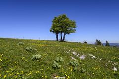 verde e blu - Creux du Van (MarcoAgustoniPhotography) Tags: schweiz suisse svizzera profilo albero creux du van neuchâtel