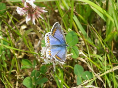 Irish form Common Blue female (Polyommatus icarus ssp. mariscolore var. ceronus) - Ballymorran, County Down, Northern Ireland (jakedalzell) Tags: commonblue polyommatusicarus polyommatusicarusmariscolore irishcommonblue butterfly lepidoptera lycaenidae
