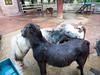 PA224213 (tatsuya.fukata) Tags: thailand samutprakan crocodilefarm animal hourse