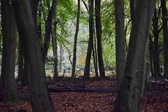 Light through the trees (MJ Harbey) Tags: forest wood tree trees park autumn ashridgeestate nationaltrust nikon d3300 nikond3300 hertfordshire