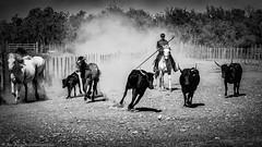 Camargue (JanJungerius) Tags: france frankreich frankrijk camargue horses pferde paarden bulls stiere stieren gardian viehhirt veehoeder camarguecattle vee vieh stofwolk staubwolke nikond750 afsnikkor70200mmf4 outdoor schwarzweis zwartwit blackandwhite blackwhite animal tiere cheval noiretblanc taureau