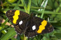 Adelpha leucophthalma leucophthalma  (Latreille, [1809]) (PriscillaBurcher) Tags: adelphaleucophthalmaleucophthalmalatreille1809 adelphaleucophthalmaleucophthalma adelphaleucophthalma nymphalidae mariposasdecolombia butterfliesfromcolombia laceja colombia priscillaburcher l1450263