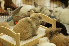 Rabbit Fest (Tjflex2) Tags: rabbit rabbits rabbitfest bunny bunnies beautiful bc cute cuddly furry fuzzy vancouver vrra lapin lagomorpha lagomorph conejo