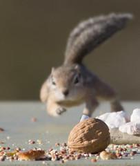 Focus.... (cindyslater) Tags: goldenvalleyaz mohavegroundsquirrel arizona cindyslater walnut chimpmunk animal