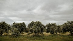 Olive Grove | Sellicks Beach (Daniel Tindale) Tags: olive grove orchard trees cloud storm skyscape grey green roadside spring landscape abstract decay decayed heritage history icon iconic rural pastoral farm farming farmland country countryside rustic australian native wistow bugle ranges bugleranges adelaide hills adelaidehills fleurieu peninsula fleurieupeninsula sellicksbeach sellicks beach aldinga south australia southaustralia sa daniel tindale danieltindale thom sullivan thomsullivan poet poetry poem pentax k20d silver sands silversands