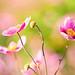 Japanese+Anemones