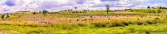 wildflowers (andrew.walker28) Tags: wildflowers darling downs purple spring flowers landscape panorama