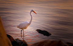 Twilight's Majestic Elegance (JDS Fine Art Photography) Tags: egret beach sunset twilight elegance magical illumination light inspirational beauty naturesbeauty naturalbeauty reflections colors colours nature