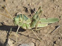 Tropidolophus formosus, male (tigerbeatlefreak) Tags: tropidolophus formosus insect grasshopper orthoptera acrididae colorado