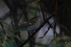 The Wanderer. (stonefaction) Tags: birds nature wildlife angus scotland yellow browed warbler ferryden scurdie ness montrose
