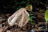 Bridal veil stinkhorn (Phallus sp.) - ESC_0205 (nickybay) Tags: malaysia borneo borneobootcamp sabah danumvalleyfieldcentre danumvalley macro bridal veil stinkhorn phallus phallaceae indusiatus phallales agaricomycetes basidiomycota