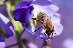 Wisteria Honey Bee (bevanwalker) Tags: bee closeup pollen nectar flowers plant lilac wisteria 105mm f28 nikon 750 closer