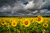 ob2015-7806.jpg (KeithCrabtree1) Tags: sunflowers redoak sunrise park oldbisonranch clouds