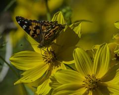 Butterfly_SAF4279 (sara97) Tags: missouri nature outdoors photobysaraannefinke saintlouis towergrovepark butterfly insect pollinator copyright©2017saraannefinke