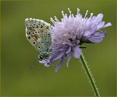 Male Chalkhill Blue IV - on field scabious (glostopcat) Tags: chalkhillbluebutterfly butterfly insect invertebrate glos summer july wildflower fieldscabious butterflyconservation prestburyhillnaturereserve