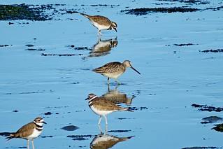 Long-billed Dowitcher & Killdeer, Sequim, WA 10/4/17