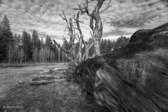 Fallen Tree (buffdawgus) Tags: blackwhite california canon5dmarkiii canonef24105mmf4lisusm independencelake landscape lightroom6 northerncalifornia sierracounty sierranevadarange topazsw