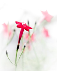 Tiny Red Flower (rickmcnelly) Tags: flower rollei carl zeiss planar 50mm18 gx8 red rolleicarlzeissplanar50mm18
