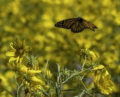 MonarchButterfly_SAF1551 (sara97) Tags: danausplexippus butterfly copyright©2017saraannefinke endangered insect missouri monarch monarchbutterfly nature outdoors photobysaraannefinke pollinator saintlouis towergrovepark