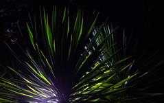 _MG_2005.CR2 (jalexartis) Tags: yucca yuccaplant shrub shrubbery nightphotography night nightshots dark lighting camranger lumecube