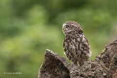 Keeping watch D75_9951.jpg (Mobile Lynn - Limited internet) Tags: nature owls birds littleowl bird fauna strigiformes wildlife nocturnal otterbourne england unitedkingdom gb coth specanimal coth5 ngc sunrays5 npc