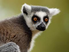 DSC_6177 (TDG-77) Tags: nikon d750 tamron 150600mm vc ring tailed lemur animal yorkshire wildlife park