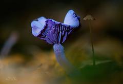 Laccaria amethystina (Supervliegzus) Tags: laccariaamethystina amethystdeceiver mushroom macro nature nikon d7100 woods autumn herfst brightlycolored small amethyst