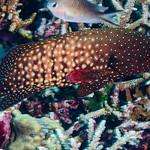 Bluespotted Grouper - Cephalopholis cyanostigma thumbnail