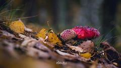 Shroom buddies (mirri_inc) Tags: amanita mushroom fungus autumn fall nature leaf orange red yellow closeup forest outdoors photography nikon sigma 105mm