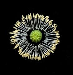 58574.01 Papaver somniferum (horticultural art) Tags: horticulturalart papaversomniferum papaver poppy opiumpoppy stamen seedpod mandala