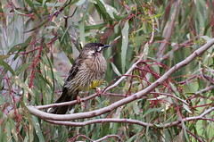 Red Wattle Bird IMGP9440 (Cee Jay Cee) Tags: redwattlebird wattle bird australian k30 pentax da55300
