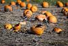 Pumpkin Patch (Phil Roeder) Tags: madrid iowa pumpkin pumpkins pumpkinpatch orange rural field canon6d canonef70200mmf4lusm