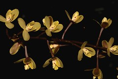 Cymbidium madidum (andreas lambrianides) Tags: cymbidiummadidum giantboatliporchid orchidaceae cymbidiumiridifolium cymbidiumalbuciflorum cymbidiumleai cymbidiumleroyivarleroyi cymbidiumqueenianum australianflora australiannativeplants australianrainforests australianrainforestplants australianrainforestorchids australianrainforestflowers orchids australianorchids arfflowers qrfp arfp epiphyte terrestrial cyrfp nswrfp arfepiphyte yellowarfflowers subtropicalarf tropicalarf