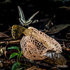 Bridal veil stinkhorn (Phallus sp.) - ESC_0238 (nickybay) Tags: malaysia borneo borneobootcamp sabah danumvalleyfieldcentre danumvalley macro bridal veil stinkhorn phallus phallaceae indusiatus phallales agaricomycetes basidiomycota